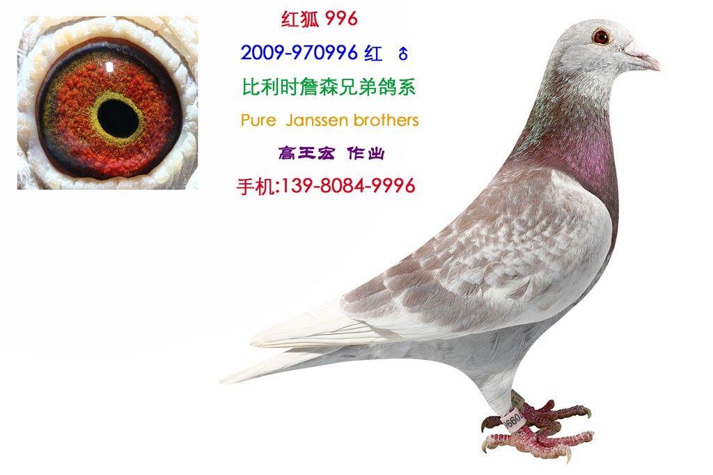 ... 詹森赛鸽图片图片_比利时詹森赛鸽图片图片下载