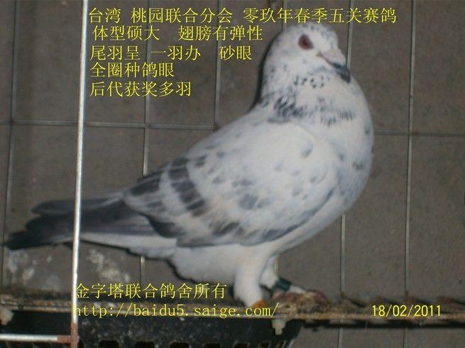 11_相册_金字塔鸽业 - 赛鸽资讯网