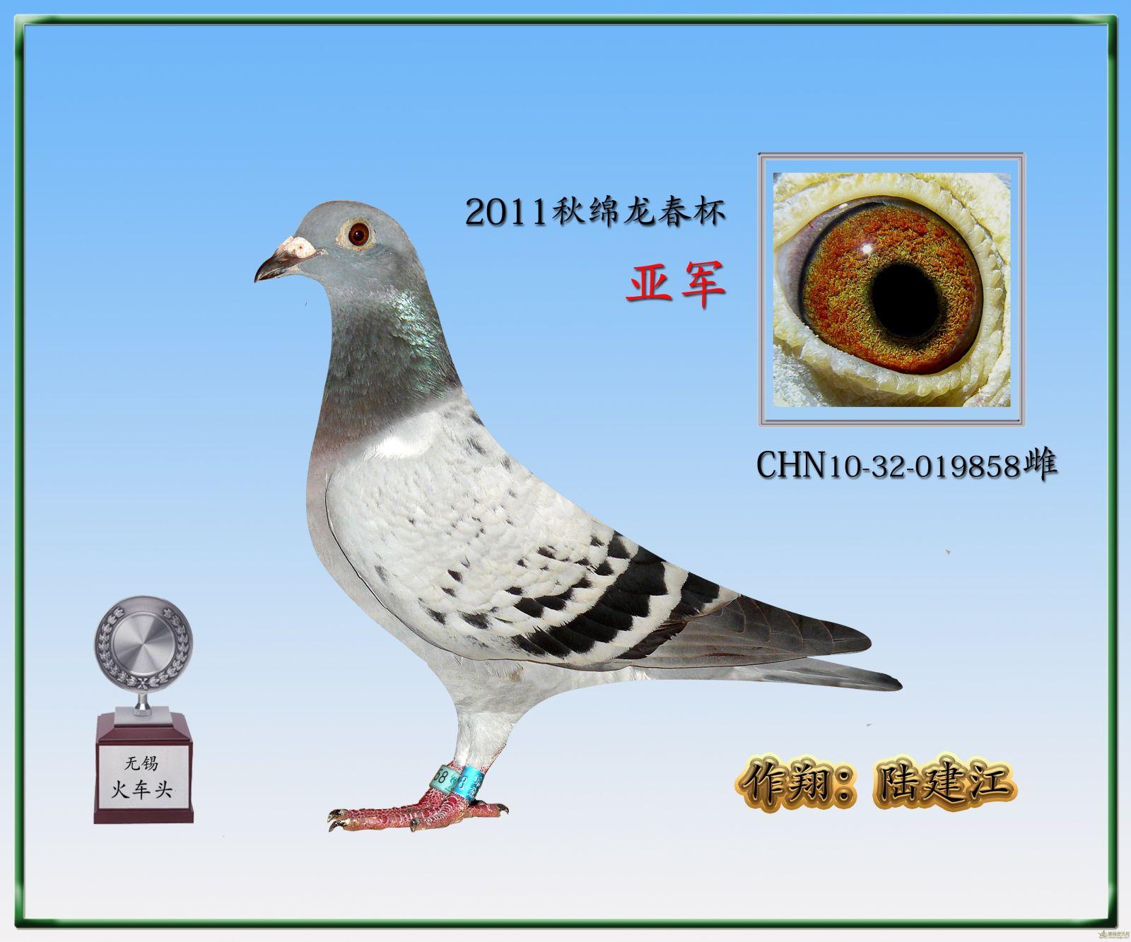 三营信鸽协会_元特比环季军《图》沭阳战神鸽舍中国信鸽信