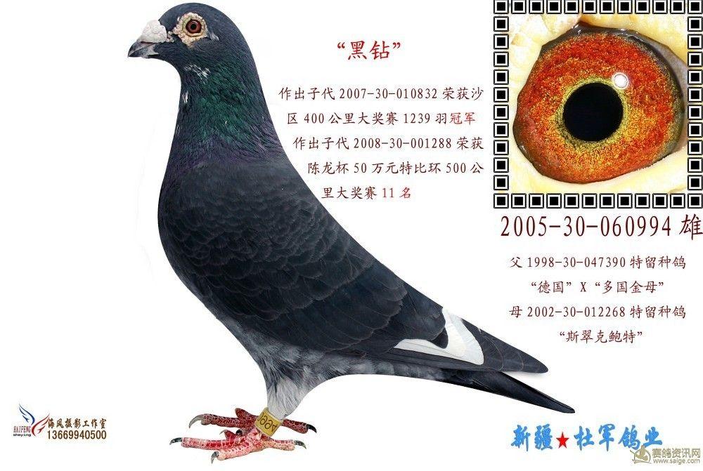 新疆杜军鸽业