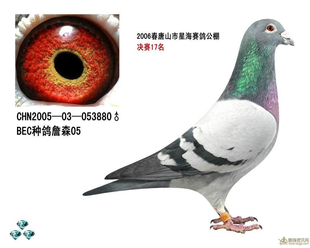 詹森八大配对种鸽赏析(图)