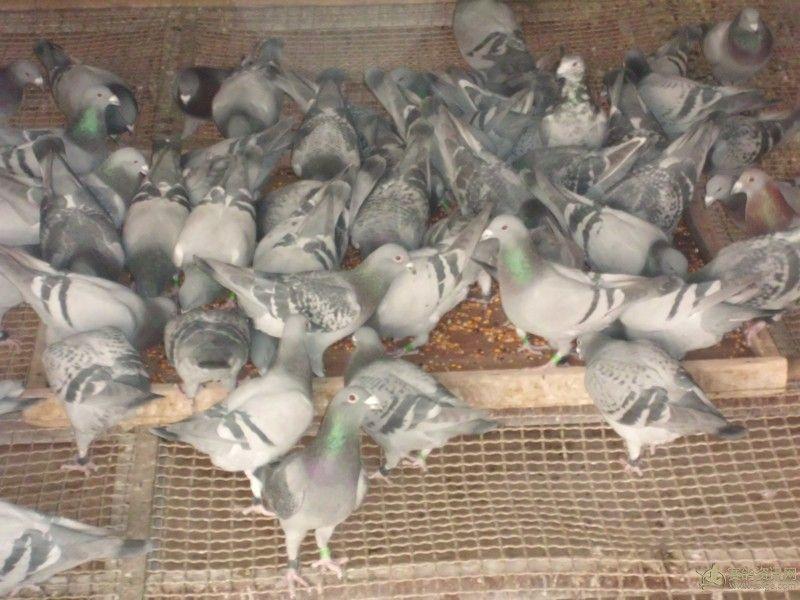 吃食的相册_鸽子_广东特鸽舍-赛鸽资讯网老饿阳帅老虎图片