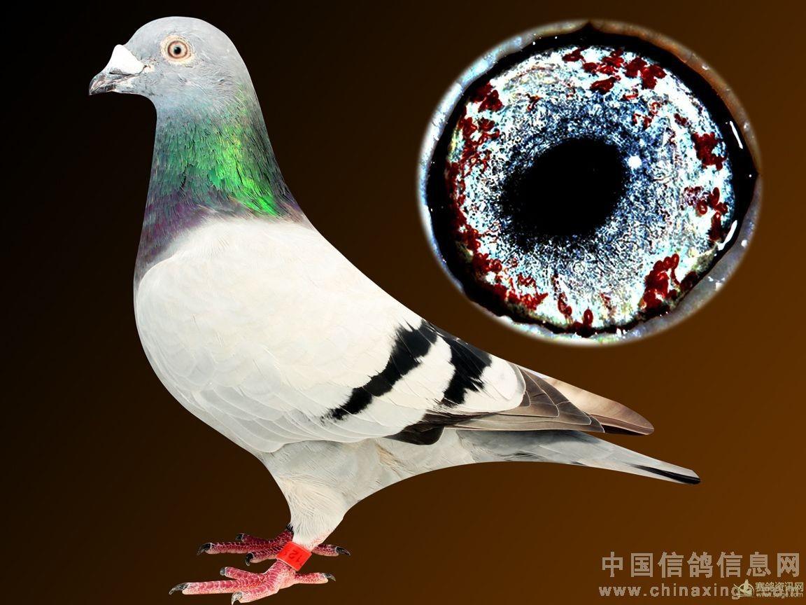 鸽子鸽家庭教学繁殖鸟鸟类1152_864蝴蝶兰动物怎样图示图片