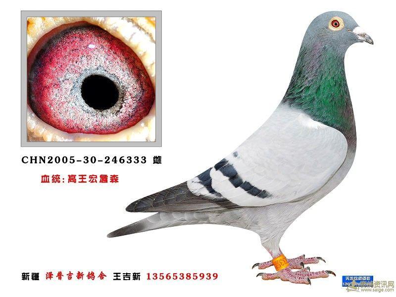 246333高王宏_相册_新疆泽普王吉新鸽舍 - 赛鸽资讯网