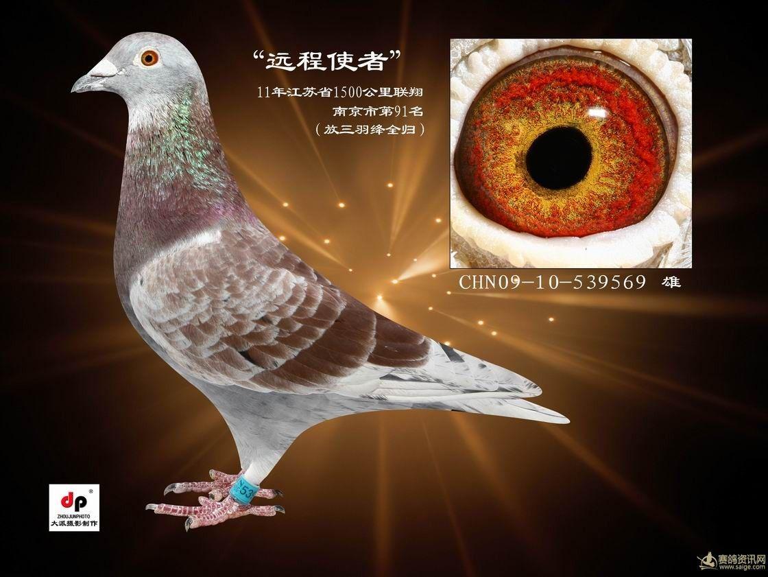 信鸽 杨阿腾 相册/超远程信鸽_相册_茸城鸽友