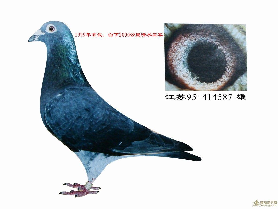 黑木吴淞信鸽图片