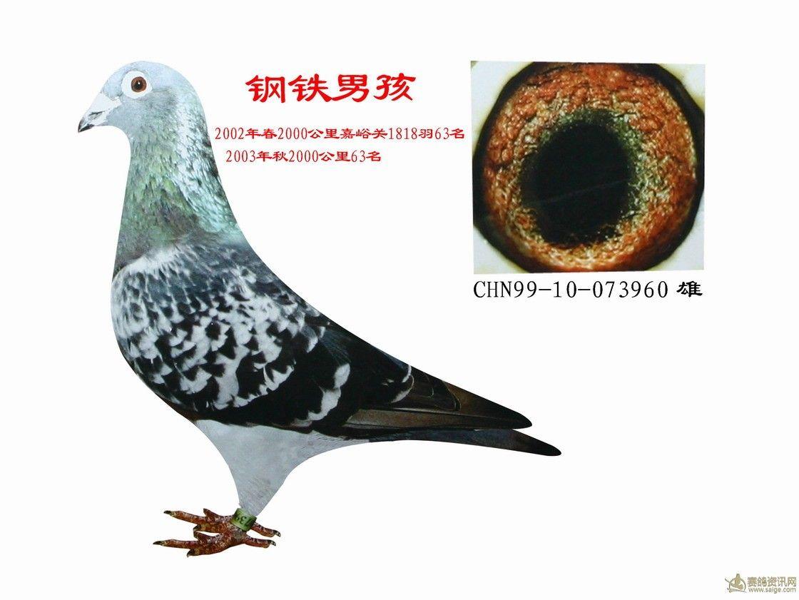 鸟类鸽动物蚊子图示鸟鸽子1120_841抠脚招教学图片