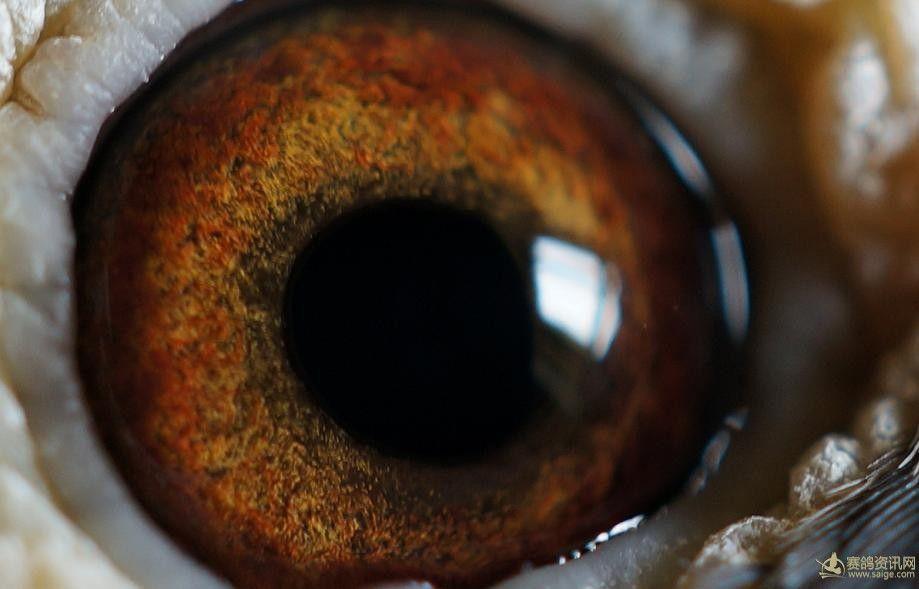 潘进连雨点白条花头黄眼雌 (35)   优秀中长程种鸽眼睛   13年重庆市图片