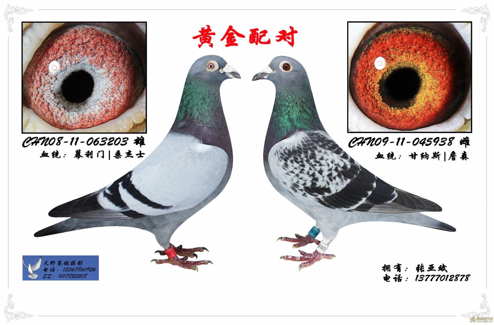 信鸽黄金配对图片最新图库 信鸽黄金配对图片 考夫曼信鸽配对图片