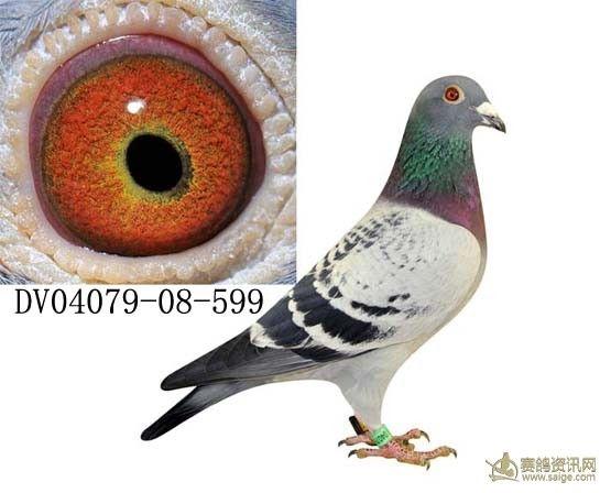 http://image.haojiaolian.com/2012-11/xueche/1353548503248.jpg_德国血统信鸽11年12年引进_相册_httptjkan