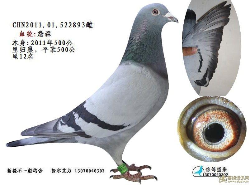 高王宏詹森_相册_新疆不一般鸽舍 - 赛鸽资讯网