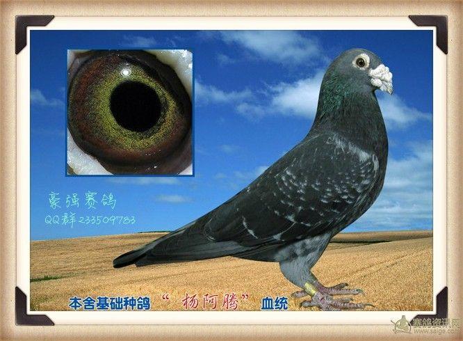 动物 鸽 鸽子 教学图示 鸟 鸟类 666_490