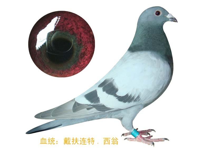 价值200余万元!长安村民15只信鸽一夜间被盗嫌疑人被刑拘_赛鸽资讯网