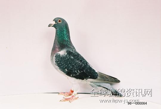 动物 鸽 鸽子 鸟 鸟类 540_368图片