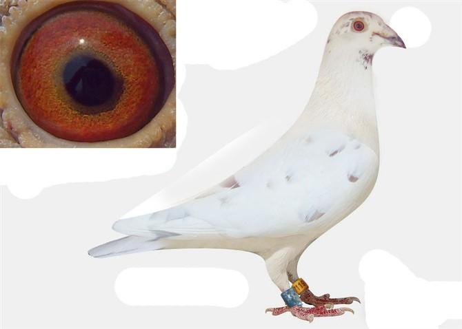 白色信鸽沙眼图片正宗詹森信鸽图片詹森信鸽图片图片