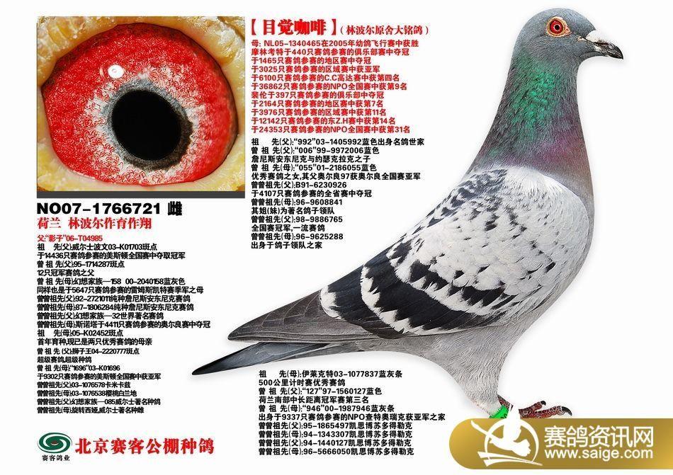 北京赛客公棚荷兰林波尔,比利时电脑.戈马力高级种鸽展示