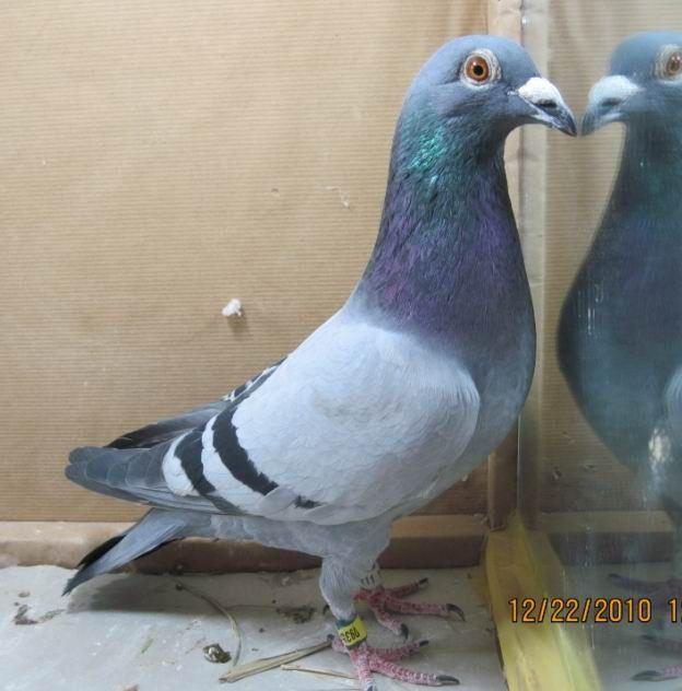 象牙鸽鸽子鸟动物624_632大象因为鸟类而被猎杀图片