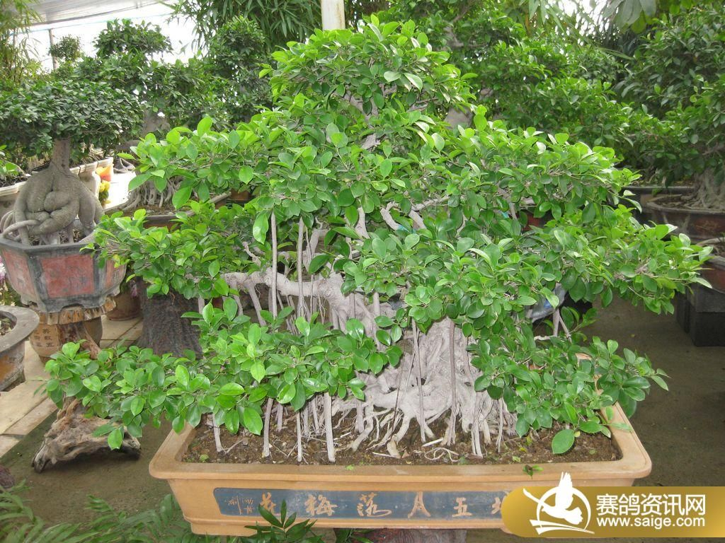水榕树盆景图片