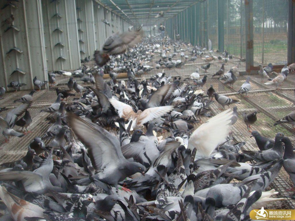 河北邢台鸿羽公棚鸽子的生活照