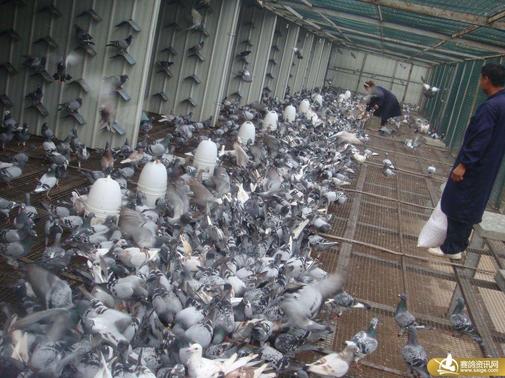 河北邢台鸿羽公棚9月14日鸽子的生活照