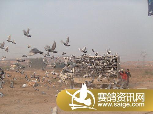 300公里比赛监放由:葫芦岛市火车头信鸽协会主席:王力,火车头信鸽