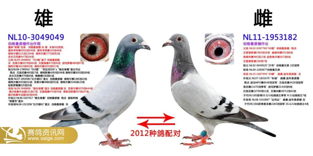 2012年影视赛鸽公棚重点种鸽配对(2)