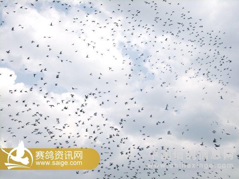 云南大理南诏赛鸽养殖
