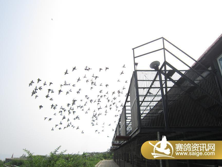 重庆大联盟赛鸽中心近期生活照