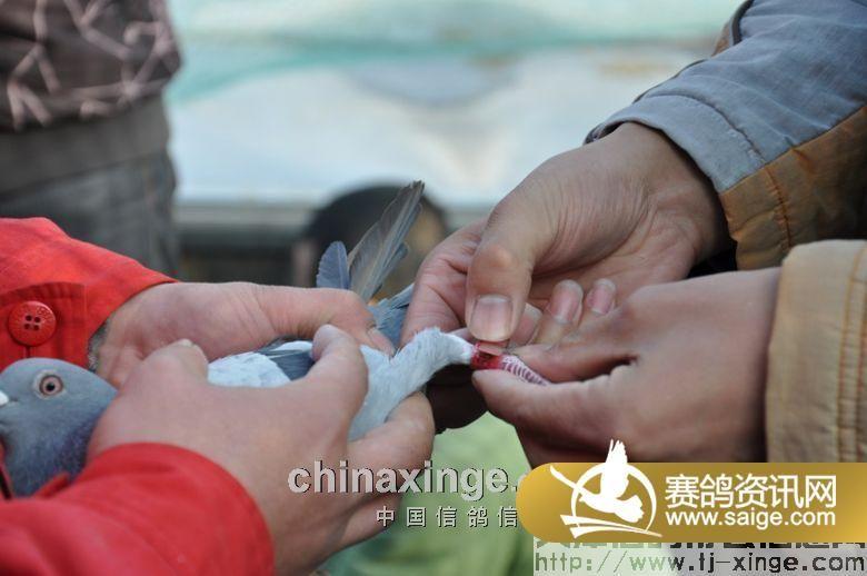 北京/北京恒兴国际赛鸽公棚第三关500公里集鸽图片