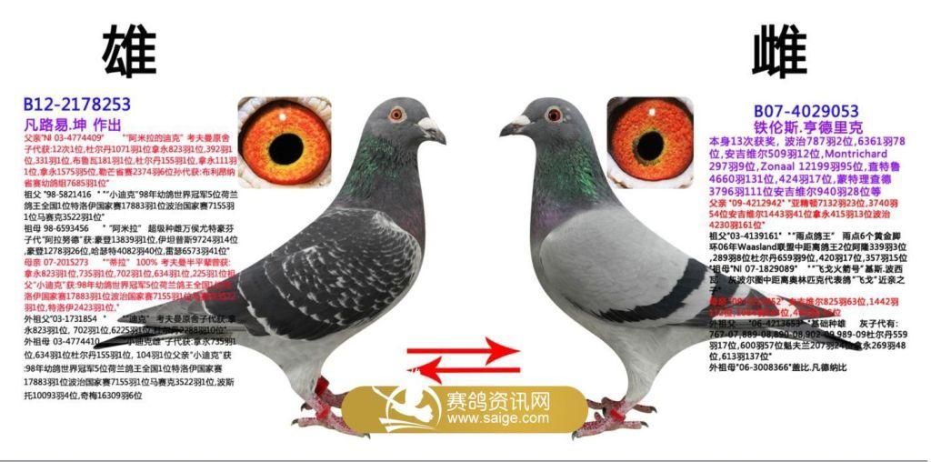 信鸽羽色配对_鸽子颜色配对后图片-黄金甲鸽子颜色配对图-鸽子颜色配对图片 ...
