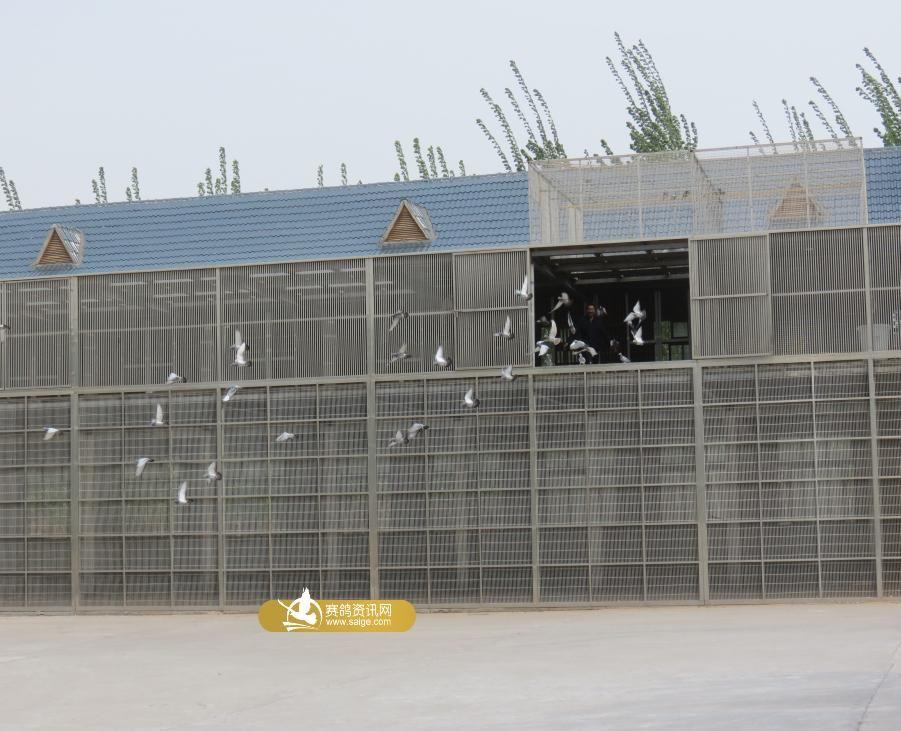和平公棚鸽子在棚图片欣赏图片