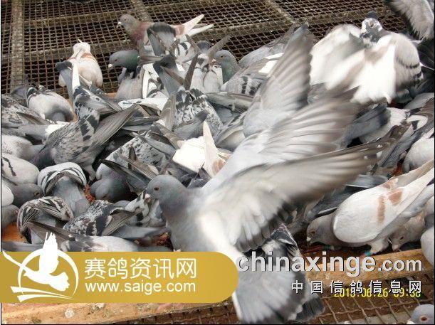 北京御福龙翔信鸽公棚幼鸽喂食照片