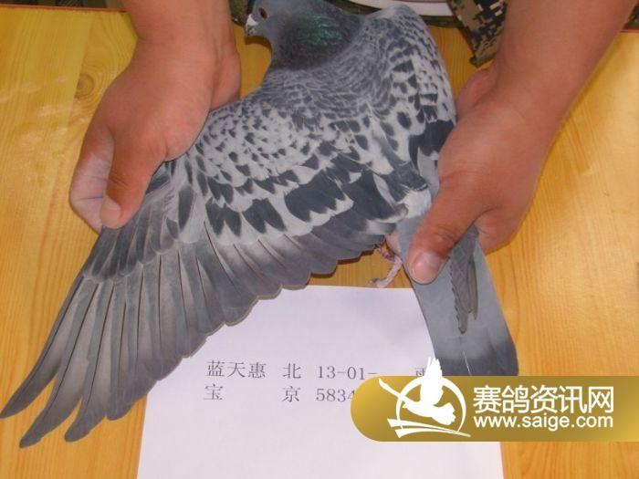北京御福龙翔信鸽公棚11月9日漏扫鸽子照片