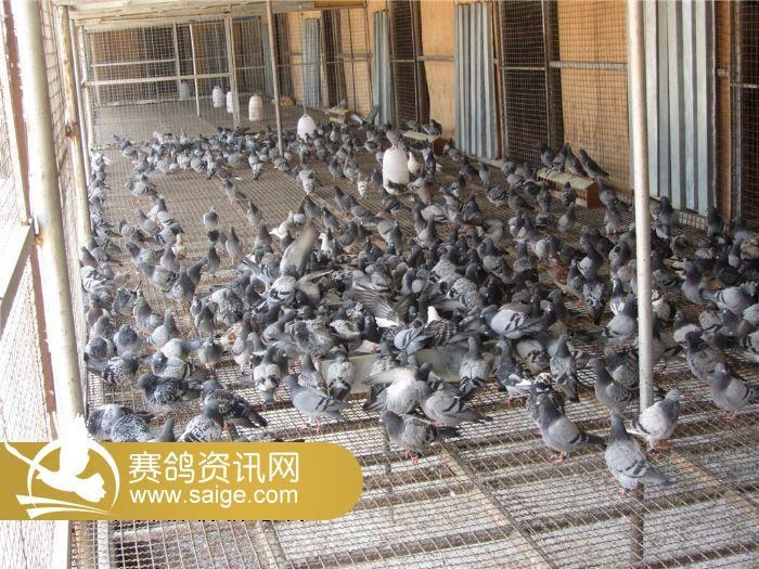 近期幼鸽生活照