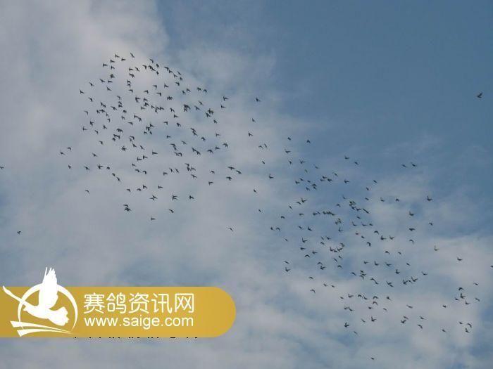 安徽飞飞赛鸽中心2014年赛鸽在棚生活照