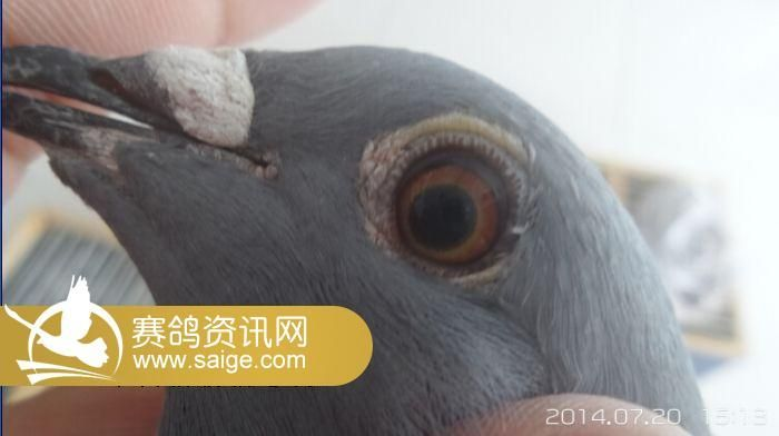 北京/北京群翔赛鸽公棚/7.20日网上探视(灰雌篇)