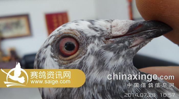 北京/北京群翔赛鸽公棚/7.28日网上探视(花篇)