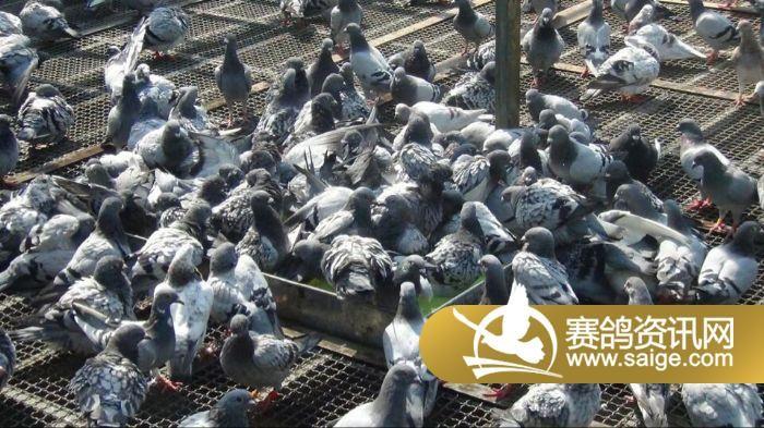 北京/北京凤宇翔冠公棚/赛鸽洗澡视频及图片