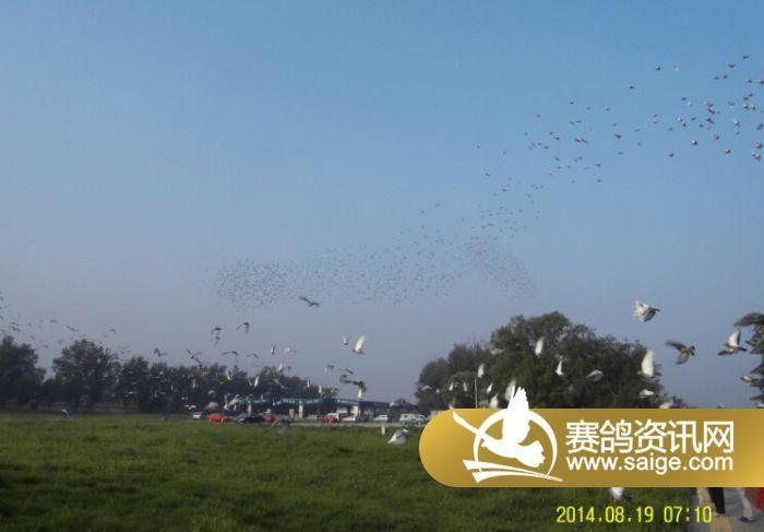 北京/北京群翔赛鸽公棚/实际空距2.88(图)