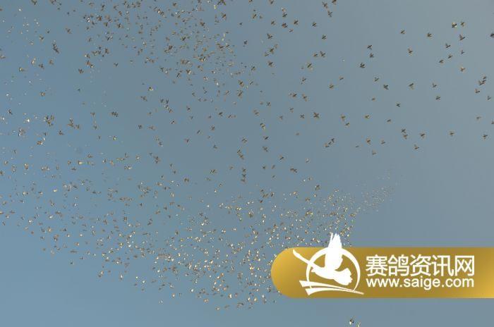 北京 爱亚卡普/北京爱亚卡普2014年赛鸽家飞图