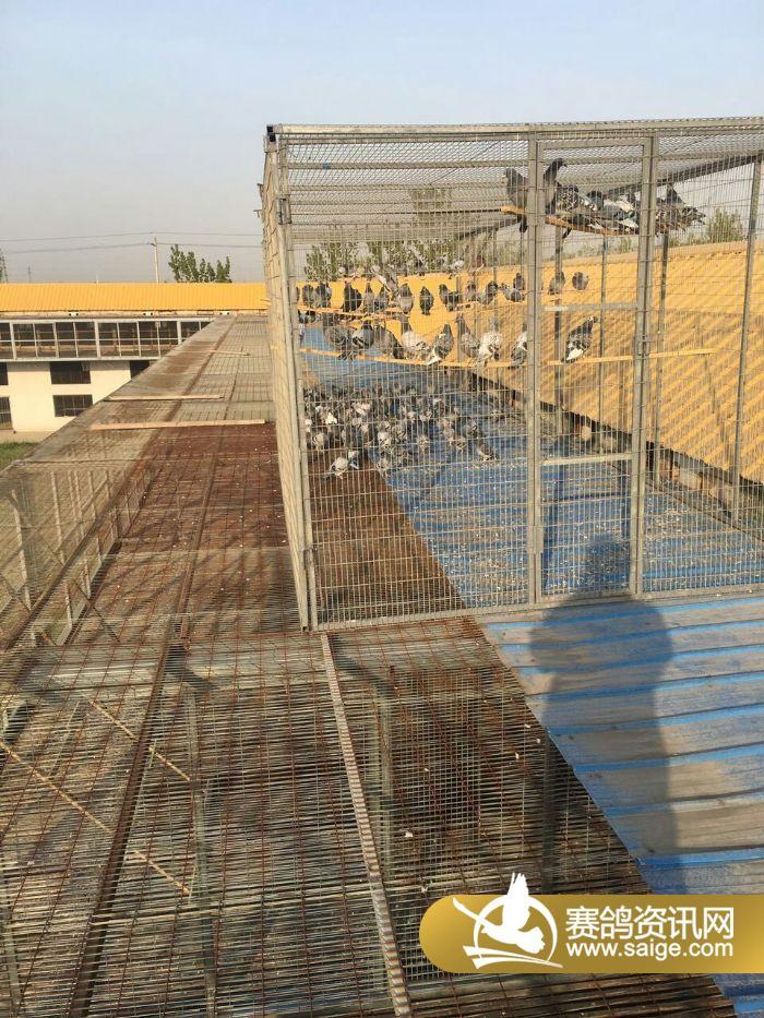 早晨天气还行,好多鸽子都出来晒太阳啦图片