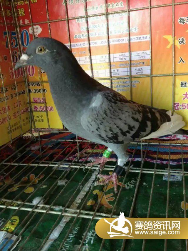 94785 灰花头-北京萌苑赛鸽公棚6月24日赛鸽状态抽检图片