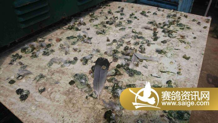 赛鸽笼里的粪便状态,一切正常.-成都东山国际赛鸽中心第四站训放图片