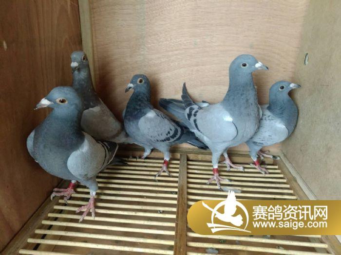上海黄金海岸3月11日集鸽入棚靓照
