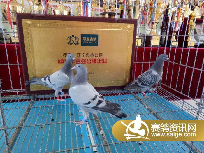 亚军被自由虎-李二虎18-26-0239664灰鸽子夺得_赛鸽俱乐部