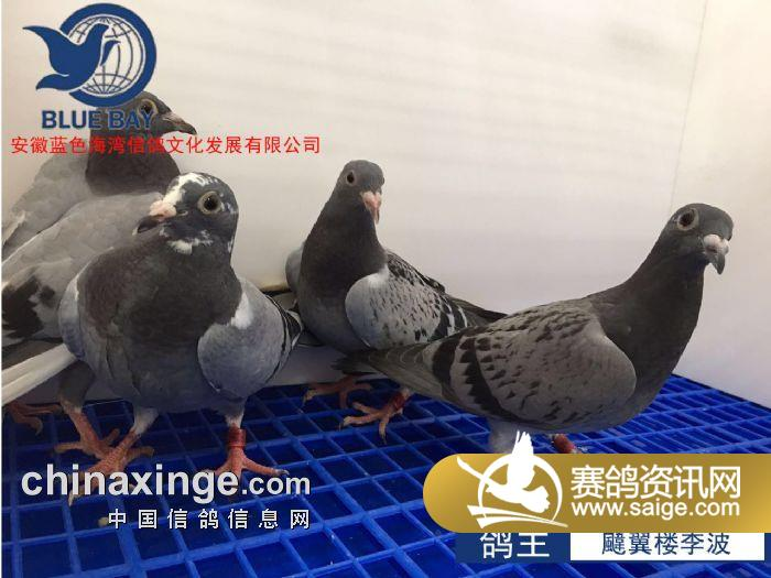 �]:��x�8箽�_安徽蓝色海湾7月2日幼鸽入棚靓照