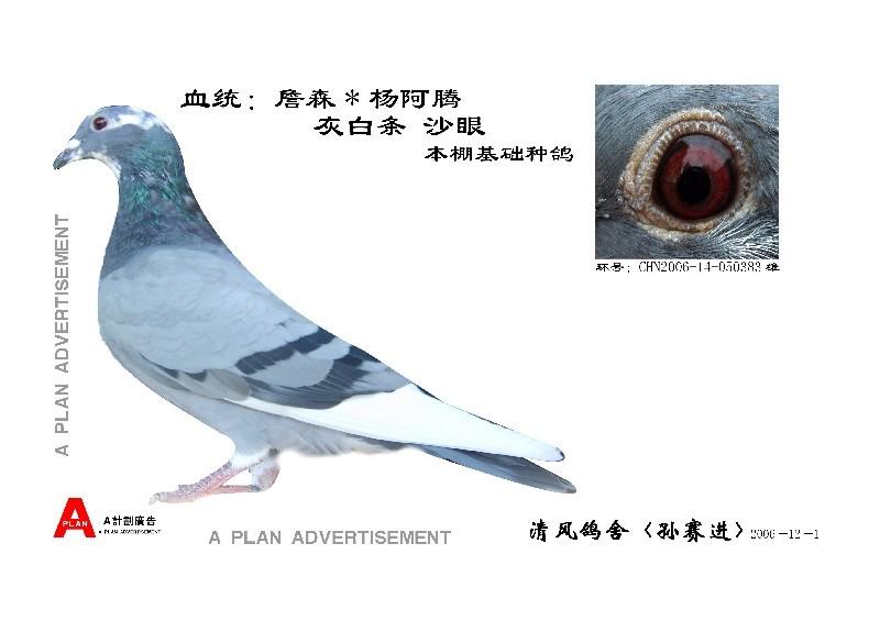 台湾海翔; 詹森*杨阿腾;; 杨阿腾信鸽图片大全杨阿腾信鸽眼睛图片信鸽图片