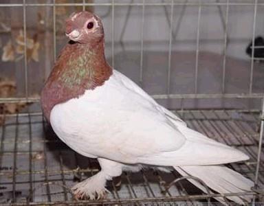 观赏鸽点子图片_观赏鸽子【图片 价格 包邮 视频】_淘宝助理