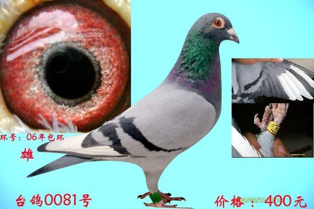 年包环灰沙眼双白条台鸽图片