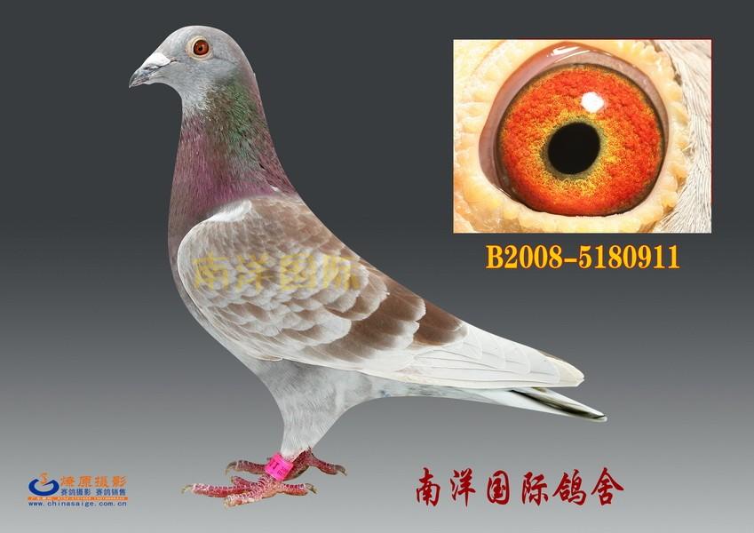 2560919是一羽狄尔巴,杨阿腾,詹森三系混血的鸽子.